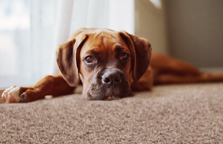 choosing a carpet with pets in the home what is the best carpet rh hillarys co uk