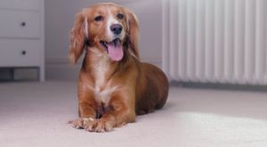 carpet-care-guide-pets