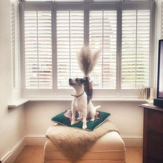 Craftwood Pure White Shutters in bay window with dog on cream pouffe